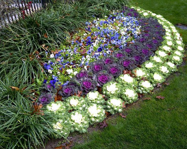 Ukrasni kupus for Best plants for front flower bed